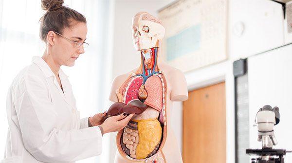 A Imagem Mostra Uma Doutora Com O Figado De Um Modelo Do Corpo Humano Em Mãos.